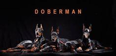 The Dobermann Horsemen of the Apocalypse