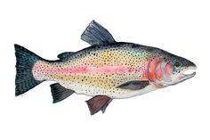 Rainbow Trout Watercolor 8 x 12 Archival Giclee por somosomo