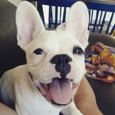 Meu bulldog francês, French Bulldog Puppy