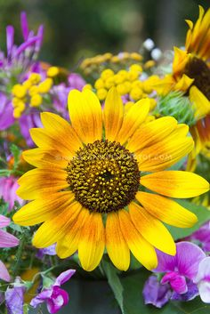 Mix of Old-Fashioned Garden Favorites: Sunflower, Pink Sweet Peas, Yellow Achillea (Yarrow), and Purple Lythrum (Loosestrife). Sunflower Flower, My Flower, Sunflower Family, Sunflower Garden, Happy Flowers, Beautiful Flowers, Sun Flowers, Summer Flowers, Colorful Flowers