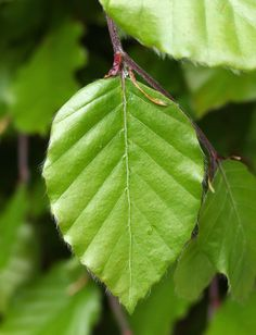 Beech hedge leaf close up
