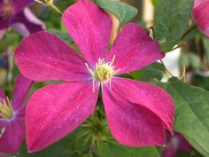 Clematis 'Madame Edouard Andre'.  Group 3.  Jul-Sept.