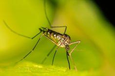 Komáři patří k jednomu z najotravnejších druhů hmyzu. Jsou velmi nepříjemnými společníky zejména v ložnici. Opakované vstávání nikomu na klidu nepřidá a svědivé štípance provázejí i kruhy pod očima z nevyspání. Jak účinně bojovat proti komárům? Přinášíme Vám pár užitečných rad. Úplným základem je síťka do oken a dveří Nejzákladnější prevencí je nedovolit krevsajícím komářím … L Eucalyptus, Calendula, Landscape, Animals, Haiku Poem, Searching, Counselling, Life Hacks, France