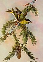 Постер British Birds - Siskin