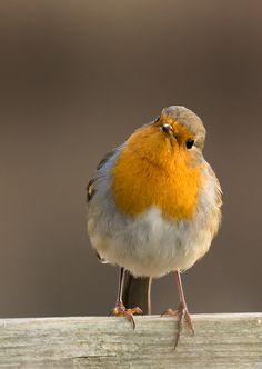 Pretty Birds, Beautiful Birds, Animals Beautiful, European Robin, Robin Redbreast, Rare Birds, Bird Pictures, Little Birds, Colorful Birds