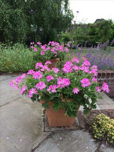 Pelargonium Pink Capitatum – delicious rose scented leaves, smothered in large pretty pink flowers from May to September, attractive to bees.  My favourite outdoor geranium – what more could you want!