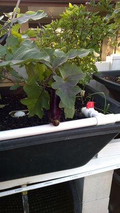Thai Basil and Eggplant  2