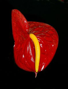 Anthurium Flower  by KoolPix, via Flickr