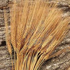 Rust Wheat Stems