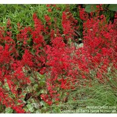 """Semi Deer Resistant """"Lipstick"""" coral bells - red flowers wave above silver-veiled green leaves. Vigorous grower with long lasting blooms in spring, summer, and fall. Best Plants For Shade, Shade Plants, Landscaping Around Trees, Backyard Landscaping, Landscaping Ideas, Gardening Direct, Organic Gardening, Houston Garden, Coral Bells Heuchera"""