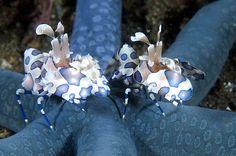 Star & shrimps