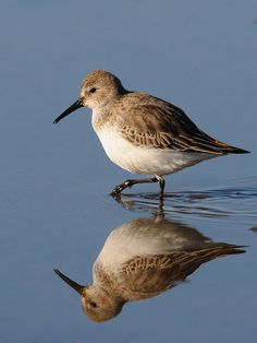 Dunlin, once again, sighted in Canada.