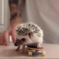 can't stand the cuteness :D would love to have an hedgehog on my own!