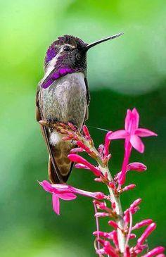 Costa Hummingbird