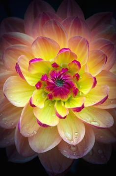 Dahlia macro - by Roswitha Schacht