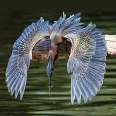 Peggy Coleman captured this stunning photo of a Blue Heron www.pegcoleman.com