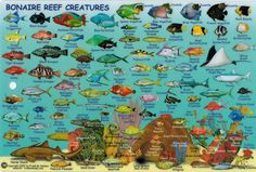 Bonaire Reef Map and Creatures | Epic Field Notes