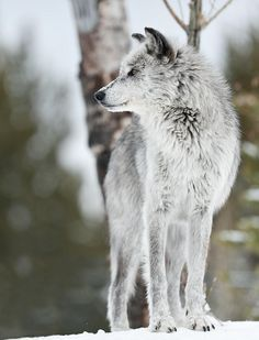 white and grey wolf body profile - Google Search