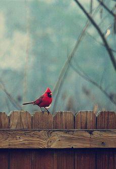 Cardinal, NC state bird