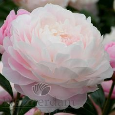 Mrs. FDR Peony | Paeonia Mrs. Franklin D. Roosevelt -