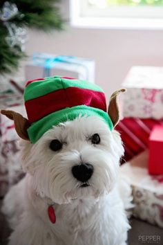 Pepper says a big Happy 1st December... I don't know how much help this little Elf would be to Santa. Pepper the Westie via facebook