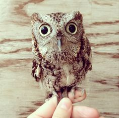 OMG THIS IS THE CUTEST OWL EVER. I WANT TO MEET HIM OR HER.