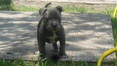 blue pitbull puppies dallas