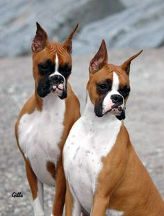 American Show Boxer (dogs) | RIPNT BOXERS