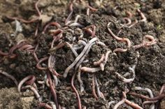 Vermicomposting Worm Types – What Are The Best Worms For Compost Bin
