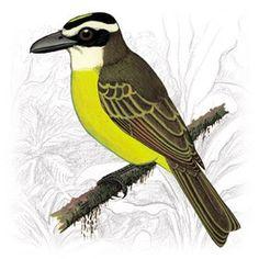 Bem-Te-Vi-Gameleiro (Megarhynchus pitangua)