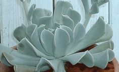 Echeveria runyonii 'Topsy Turvy' showing off the upside down foliage...