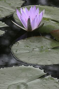 Blue water lily • by Bahman Farzad