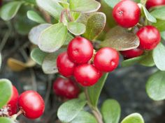 Some of the most important health benefits of bearberry include its ability to detoxify the bladder, protect the immune system, eliminate headaches, speed healing, reduce inflammation, and protect the gut.