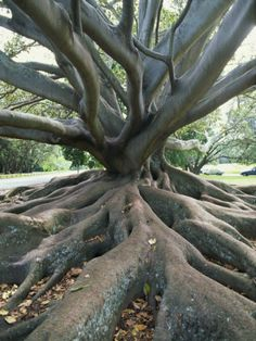 Trunk and Roots of a Tree in Domain Park, Auckland, North Island, New Zealand, Pacific