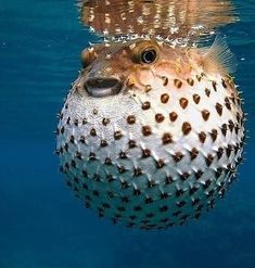 Ocean Creature: Puffer Fish Facts: The Puffer Fish as soon as it is touched it defends itself by swallowing a lot of water in a few seconds making his body swell and becoming a big ball. Beautiful Sea Creatures, Animals Beautiful, Ocean Photography, Animal Photography, Wale, Underwater Life, Ocean Creatures, Beautiful Fish, Exotic Fish