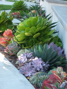 Big green Aeonium urbicum above a blue-grey Echeveria hybrid. …