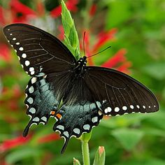 black swallowtail butterfly life cycle | Spicebush Swallowtail Butterflies, Caterpillars, Chrysalis Photos ...