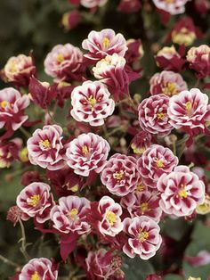 Columbine Winky Double Red and White Blooms late spring to early summer