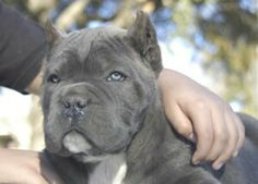 Cane corso puppy- such a mean sweet face