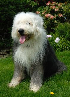 Old English Sheep Dog**. My dream is to have one named Max like Eric's from the little mermaid.