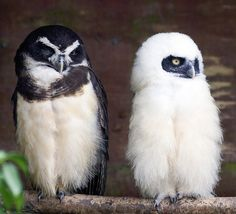 Spectacled Owl Mother & Baby by Steve Wilson -