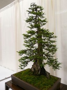 bonsai trees-40 yr. old Coastal Redwood.