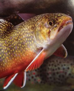 Appalachian Brook Trout //  Find a meeting location near you by visiting JW.org ༺♥2015♥༻