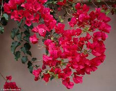 I love Bougainvillea- the color is so rich, and you can do a hanging basket, a trellis, or large bush.  These will make it in our backyard somewhere!