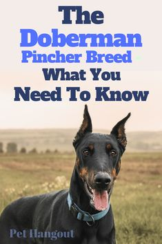 The Doberman Pincher can be perfect for your fam - learn all about them here!  |dobies |doberman|doberman pincher dog breed | dog breeds | is a doberman good with kids | is a doberman a good family pet Doberman Breeders, Doberman Pinscher Dog, Doberman Dogs, Best Dogs For Families, Family Dogs, Collie Breeds, Dog Breeds, Pincher Dog, Black Lab Puppies