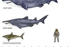 20-Foot Monster Shark Once Trolled Mesozoic Seas
