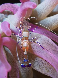 The Spotted Cleaner Shrimp in sea anemones by Owen James Burke. awesome!