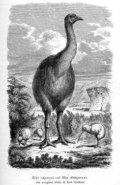 Inch Print (other products available) - An artist& impression of how the extinct dinornis or moa (aepyornis ingens), a genus of flightless birds native to Madagascar, might have looked. - Image supplied by Mary Evans Prints Online - print made in the UK Extinct Birds, Extinct Animals, Flightless Bird, Engraving Illustration, Framed Prints, Canvas Prints, Natural History, A4 Poster, New Zealand