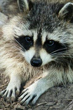 ♡☆ Gorgeous Raccoon ☆♡