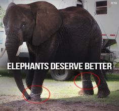 An elephant named Nosey is suffering from injuries while being forced to perform for a circus. Tell officials to take action and stop making her travel and perform under cruel conditions.